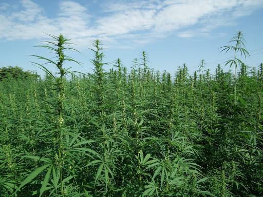 Coltivavano cannabis sul terreno di loro proprietà. In due denunciati dai Carabinieri